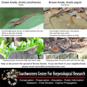 Invasive Brown Anoles Spreading North