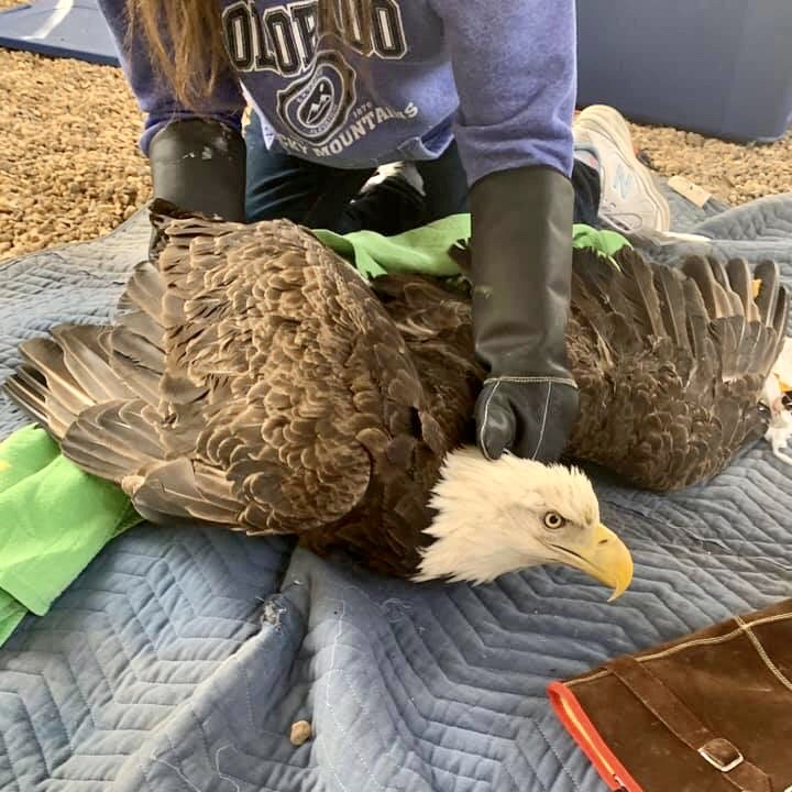 Bald Eagles in Rehabilitation at Friends of Texas Wildlife; A Call for Hunters to Make a Change
