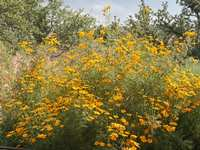 Water-saving Native Plant of The Week: Copper Canyon Daisy (Tagetes lemmonii).