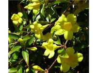 Water-saving Native Plant of The Week, by Bob Dailey: Carolina Jessamine
