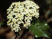 Water-Saving Native Plant of the Week - Rusty Black-haw Viburnum