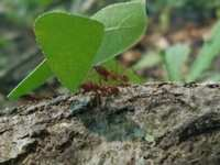 Leaf Cutting Ants