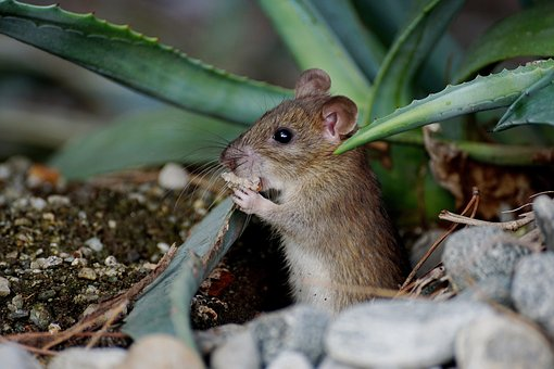 Mice in your Garden