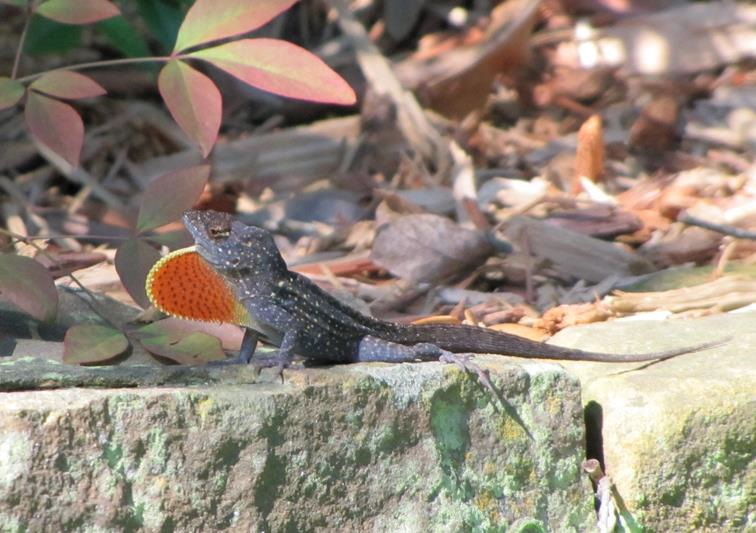Have You Seen Me? Help Document an Invasive Species on the Rise in Texas