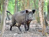 Concern Over Feral Hogs in The Woodlands
